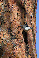 White-breasted Nuthatch (Sitta carolinesis) on side of ponderosa pine tree.  Western U.S.