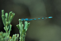 320140001 a wild male alkali bluet enellagma clausum perches on a desert plant at de chambeau ponds mono county california united states