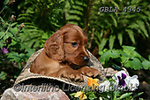 Bob, ANIMALS, REALISTISCHE TIERE, ANIMALES REALISTICOS, dogs, photos+++++,GBLA4345,#a#, EVERYDAY