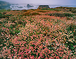 Buckwheat, Eriogonum, Coastal Fog, Garrapata State Park, Big Sur, Monterey County, California