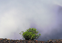 A lone Kupaoa plant survives the harsh conditions of the wilderness landscape in the crater of HALEAKALA NATIONAL PARK on Maui in Hawaii awash in a cover of clouds
