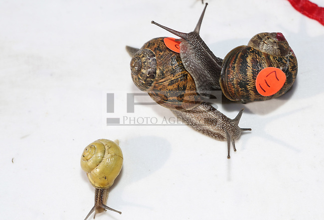 2014 World Snail Racing Championships in Congham (Norfolk)<br /> Picture description:<br /> At the amazing speed of 0.0005 mph some head-on collisions send the adrenaline high to spectators<br /> General infos:For more than 25 years the World Snail Racing Championships have been held at Congham, near King's Lynn, in Norfolk.Before snails can enter a race a sticker with a number must be put on so they can be identified. The snails race from the centre of a circle to the outside. The circle has a radius of 13 inches. The snails are put in the middle and pointed in the right direction.The  Snail Master Neil starts the races. He shouts: &quot;Ready, steady, SLOW!&quot; And off dash the snails! The Snail Master keeps the course well-watered as snails like damp conditions.Races are held on a table covered with a white cloth. Machine a circle, with braid in the middle, and then machine a similar circle 13 inches away.Owners do dress up. The World record stands at 2 minutes over the 13 inches. It was set up in 1995 by a snail called Archie. The record can only be challenged at the World Championships at Congham.Giant foreign snails are not allowedOften owners like to give their snails names like Speedy or Schumacher!<br /> Picture by Marcello Pozzetti &copy; IPS PHOTO AGENCY<br /> Cavell Barn<br /> The Common<br /> Swardeston<br /> Norwich<br /> Norfolk<br /> NR14 8DZ<br /> T 01508 571 480<br /> M 07973308835