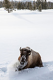 USA, Wyoming, Yellowstone National Park, a bison tries to get out of the deep snow near Indian Creek, Gardners Hole