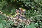 Cedar waxwing (Bombycilla cedrorum)
