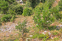 Dry barren land with dry brown grass and a few bushes, typical of the vegetation on the island. Korcula Island. Korcula Island. Dalmatian Coast, Croatia, Europe.