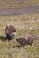 A newly born muskox calf feeds on the tundra vegetation near its mother, on Alaska's Arctic North Slope.