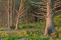 Sitka spruce trees along the pacific coast