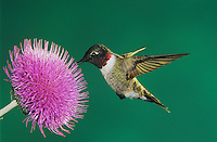 Ruby-throated Hummingbird, Archilochus colubris,male feeding on Texas Thistle (Cirsium texanum) , Welder Wildlife Refuge, Sinton, Texas, USA, May 2005