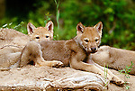 Eight week old grey wolf pups, Montana