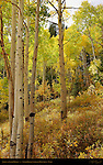 Aspens at Cedar Breaks, Cedar Breaks National Monument, Utah