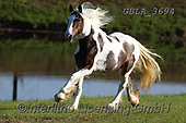 Bob, ANIMALS, REALISTISCHE TIERE, ANIMALES REALISTICOS, horses, photos+++++,GBLA3694,#a#, EVERYDAY