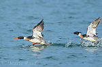 Red-breasted Mergansers (Mergus serrator), two males in breeding plumage take flight from water, Aurora, New York, USA