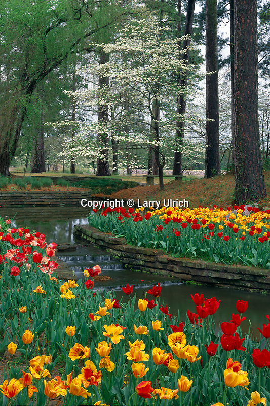 Tulips and flowering dogwood<br />