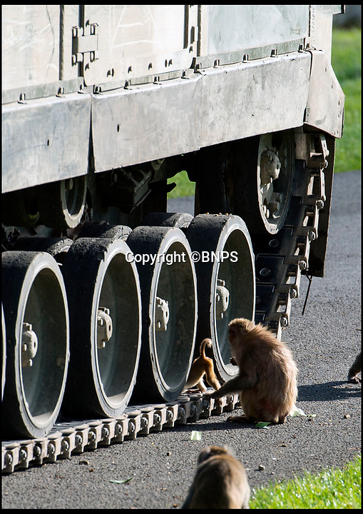 BNPS.co.uk (01202 558833)<br /> Pic: PhilYeomans/BNPS<br /> <br /> Even the baby macaque are not intimidated by the 28 tonne vehicle...<br /> <br /> Longleat's infamous troop of mischievous monkeys, along with the parks other wiley inhabitants, have been wreaking havoc on unsuspecting motorists for decades.<br /> <br /> But even they were a little overwhelmed when they came face to face with the might of the British Army this week.<br /> <br /> Soldiers from the 1st Battalion The Yorkshire Regiment, based in nearby Warminster, took one of their Warrior armoured vehicles through some of the Wiltshire safari park's most notorious enclosures.<br /> <br /> And despite the animals obvious interest the 27.5 tonne, six-metre-long caterpillar tracked vehicle eventually emerged without a scratch.<br /> <br /> The Army were visiting the park ahead of a new military spectacular event which is taking place on the estate later this month.
