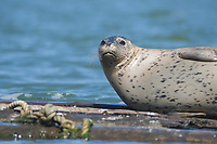 Pacific harbor seal (Phoca vitulina richardii), Sausalito, California, US