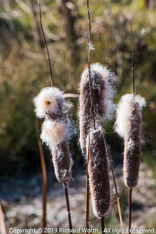 Cattails are releasing their seeds along the shoreline of the duck pond at a neighborhood park.