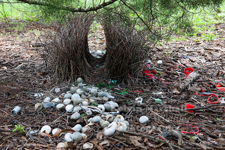 Bowerbirds make up the bird family Ptilonorhynchidae. They are renowned for their unique courtship behaviour, where males build a structure and decorate it with sticks and brightly coloured objects in an attempt to attract a mate. Mareeba, Far - North Queensland - Australia.