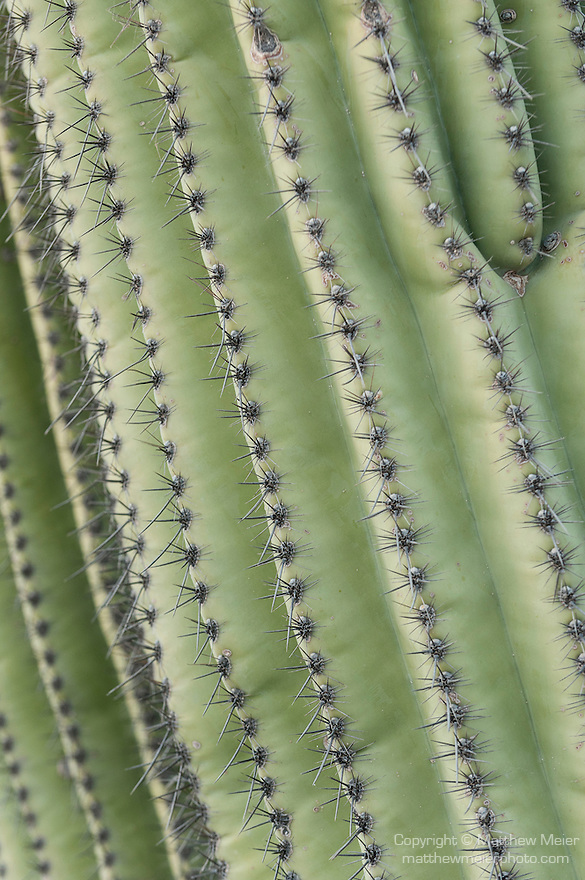 Sabino Canyon, Tucson, Arizona; patterns formed by the ribs and spines of a Saguaro Cactus (Carnegiea gigantea)