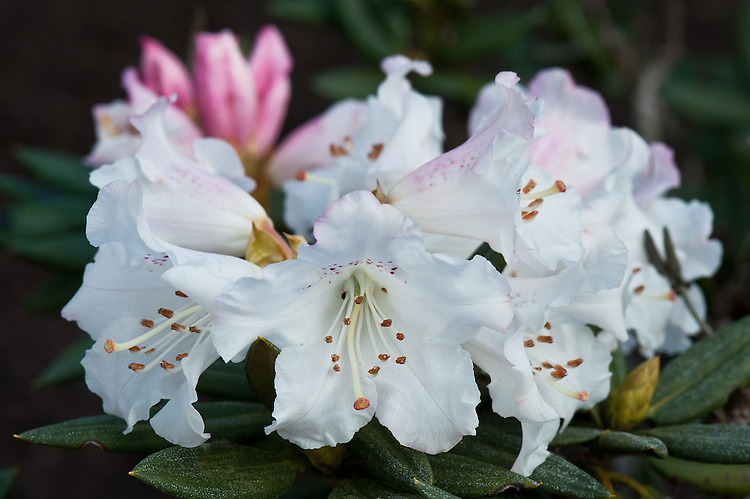 Rhododendron morii, late March. From Taiwan.