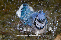 01288-05520 Blue Jay (Cyanocitta cristata) bathing, Marion Co., IL