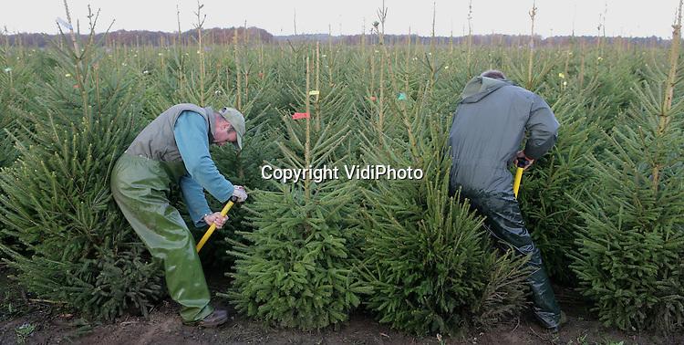 Foto: VidiPhoto..UDDEL - De grootste kerstboomhandelaar van Nederland, handelskwekerij De Buurte uit Oene, is op een perceel bij Uddel op de Veluwe begonnen met de oogst van kerstbomen. In totaal worden er tot de Kerstagen zo'n 100.000 bomen gestoken en verkocht aan voornamelijk binnenlandse tuincentra. Ondanks de enorme concurrentie vanuit met name Denemarken weet het Nederlandse product zich goed te handhaven.