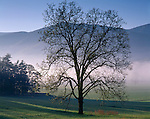 Great Smoky Mts. National Park, TN/NC<br /> Spring tree silhouetted by morning fog in Cades Cove