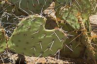 Engelmanns prickly pear (nopal), Opuntia phaeacantha discata (Opuntia engelmannii). Saguaro National Park, Arizona