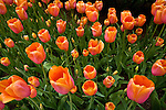 Tulips at Churchill Downs, home to the Kentucky Derby in Louisville, Kentucky.