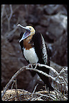 great frigate bird