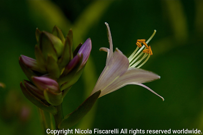 A close-up of a perennial Hosta (plantain lily) in full bloom,with green background.