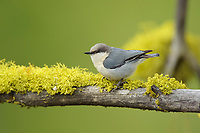 Pygmy Nuthatch (Sitta pygmaea) and lichen. Yakima County, Washington. May.