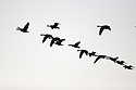 Flock of geese flying silhouetted against the sky. Stock photography from Olympic Photo Group