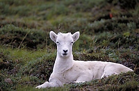 Dall sheep lamb chewing cud. Alaska USA Denali National Park.