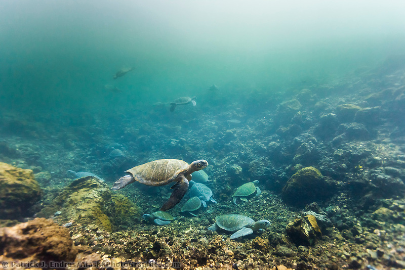 Underwater photo of turtles swimming in a cove on Isabella Island, Galapagos Islands, Ecuador.