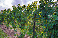 Grape Vines grow in a Vineyard, Wagner Vineyards,Finger Lakes Region, Seneca County, New York