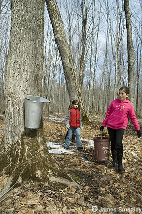 Young girls collecting sugar maple sap in a bucket