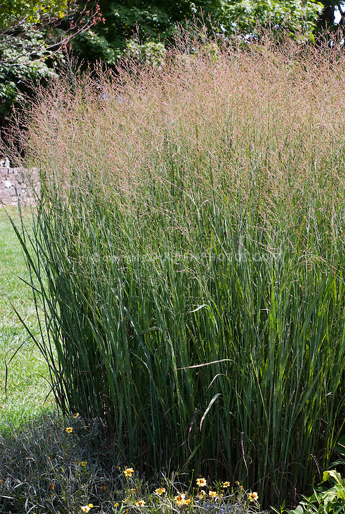 panicum virgatum 39 heavy metal 39 plant flower stock photography. Black Bedroom Furniture Sets. Home Design Ideas