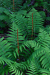 Cinnamon fern Rangeley Lake State Park, Maine, USA.