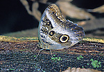 Blue Morph butterfly, taken at night from a outboard notorboat off the Napo River, in the Amazon Basin of Peru.  It is a favorite of Private Collectors who often hire local natives to  catch them.