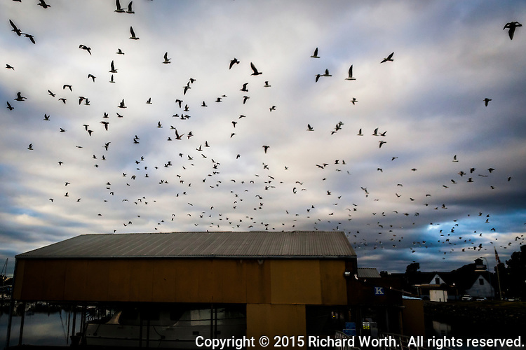 "Some invisible cue sent tens if not hundreds of gulls into the air, en masse.  It was a bit like a scene from Alfred Hitchcock's ""The Birds""."