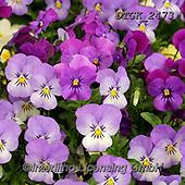 Gisela, FLOWERS, BLUMEN, FLORES, photos+++++,DTGK2473,#f#, EVERYDAY