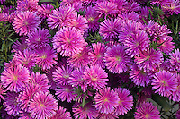 Cultivated Asters