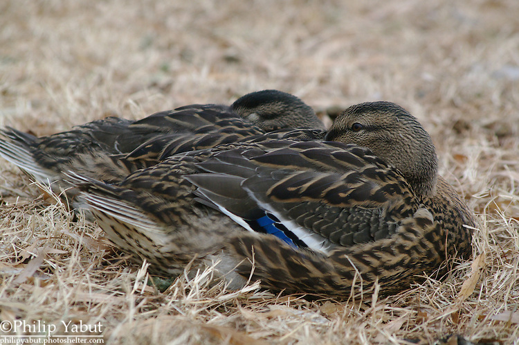 A pair of older mallard ducklings sleeps together in Constution Gardens.<br />