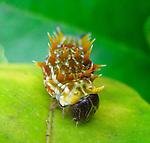 Orchard Swallowtail Caterpillar