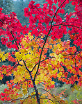 Willamette National Forest, Oregon:<br /> Vine maple (acer circinatum) branches in yellow and  red fall color