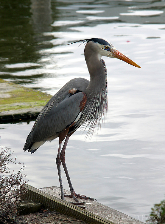 Great blue heron adult standing on dock