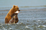 A coastal brown bear catches a salmon while fishing in a creek, near the ocean, in Lake Clark National Park, Alaska.  Photo by Gus Curtis.