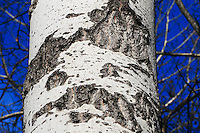 Closeup of aspen bark with blue sky background