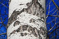 Closeup of aspen bark with blue sky background