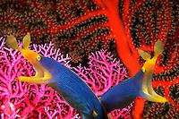 Pair of blue ribbon eels, Rhinomuraena quaesita, Indonesia underwater, marine, tropical , fish, digital composite